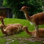 Sortes de lamas avec et sans pattes