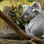Koala peluche