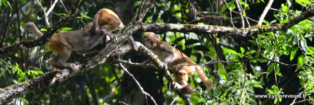 Bébé singes jouant dans les lianes : habiles !
