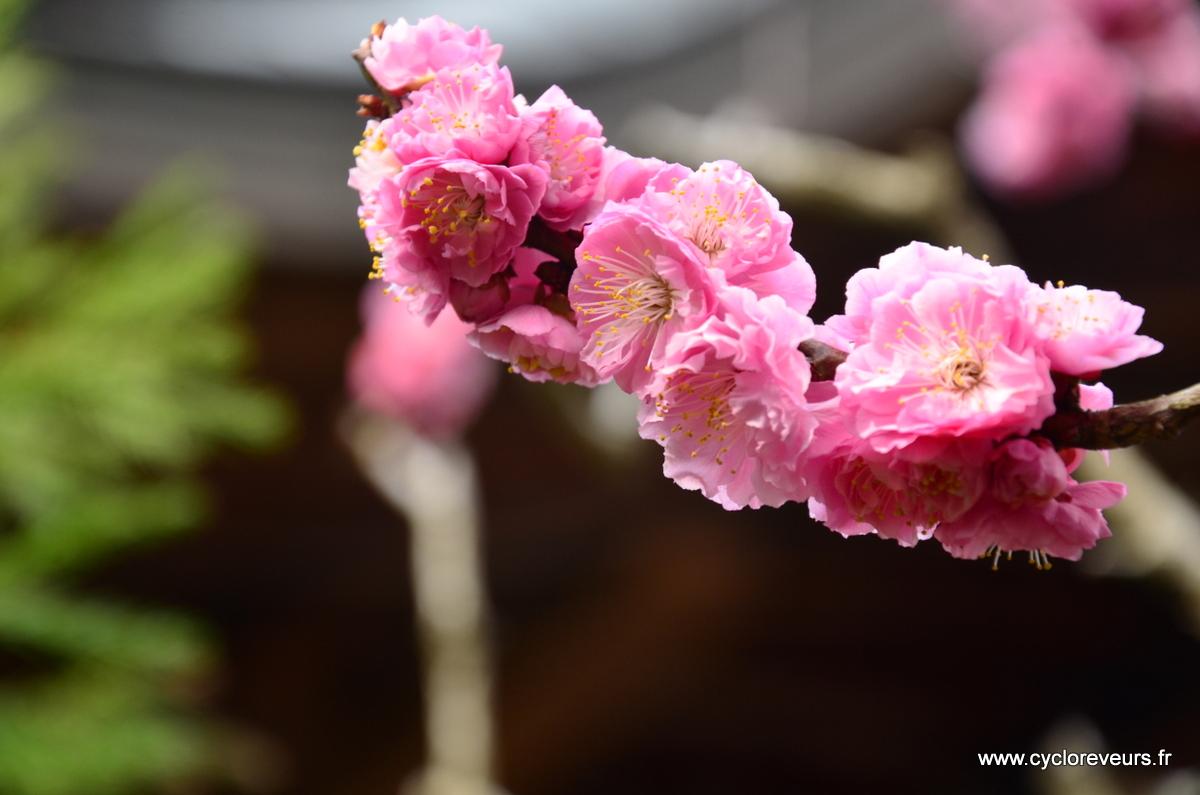 Cerisier double
