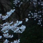 Cerisier du soir