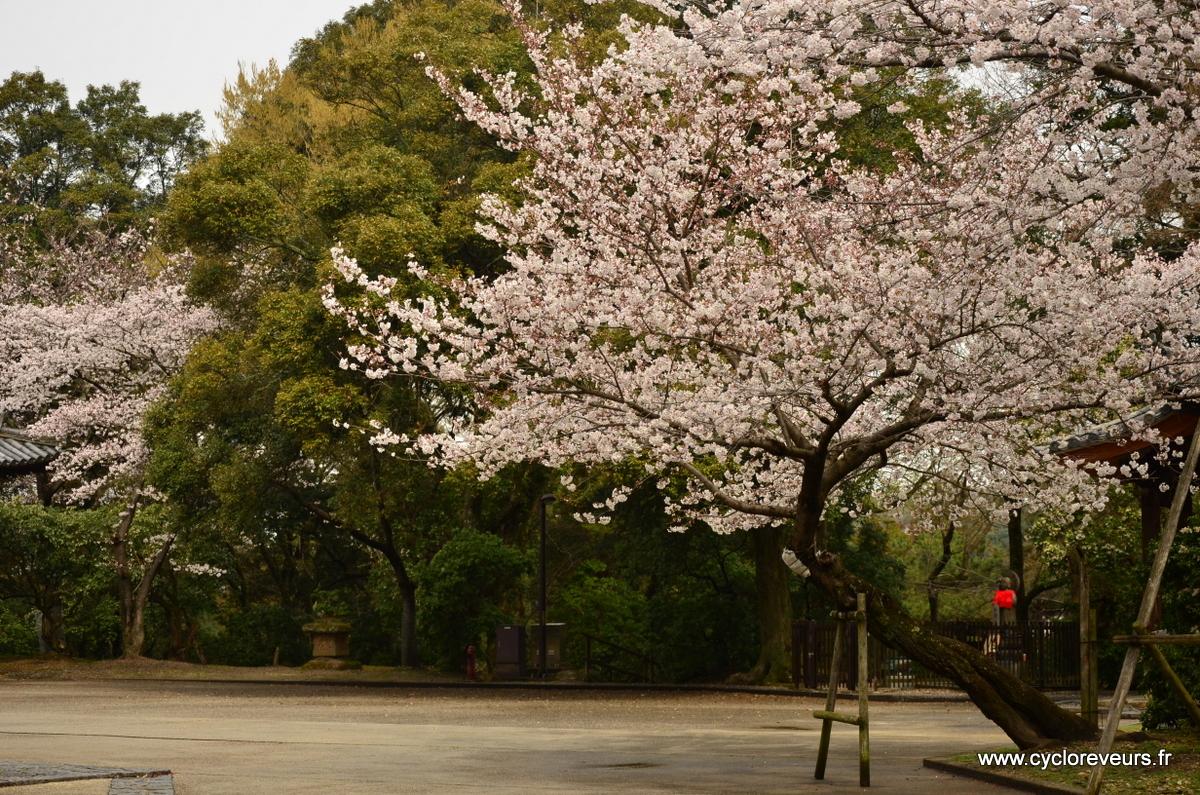 Chaque temple a besoin de son cerisier !