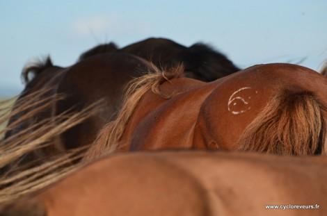 Les chevaux en Mongolie