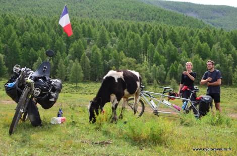 Veau en Mongolie