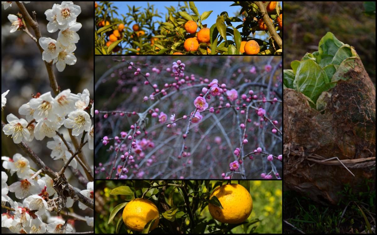 C'est l'hiver, la saison des agrumes et le début des fleurs... de pruniers